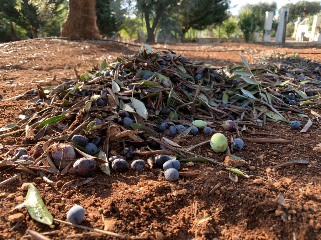 Puglia's olives | The Big Gay Podcast from Puglia