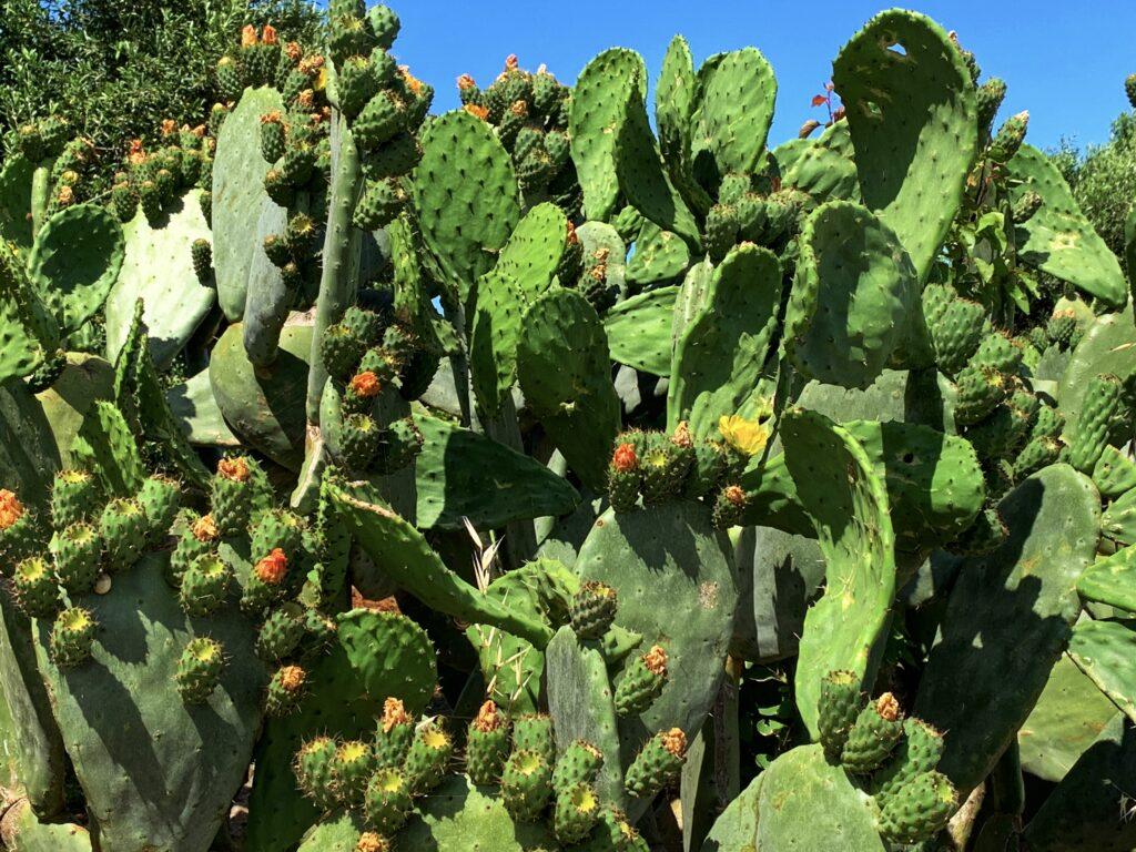 Cactus in Puglia with fichi d'India fruit